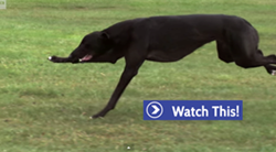 Thumbnail Greyhound vs Cheetah in Slow Motion