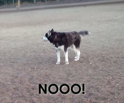 Thumbnail This Husky loves the dog park and just won't leave!
