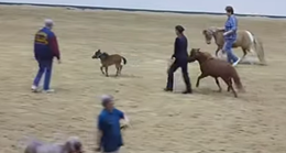 Mini Horse causing all kinds of havoc