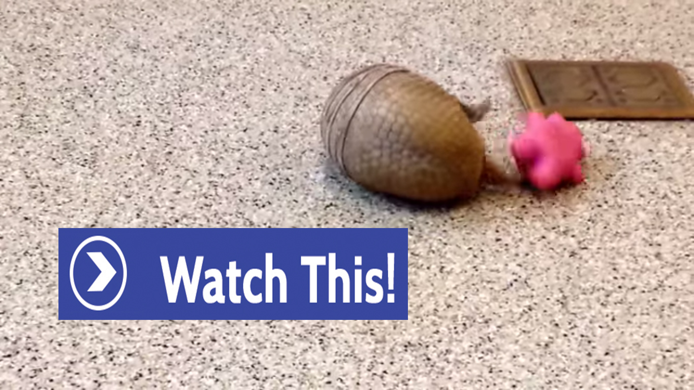 Armadillo Awesome! This Little One is Having a Blast!