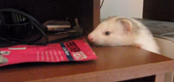Thumbnail Ferret Caught in the Act!