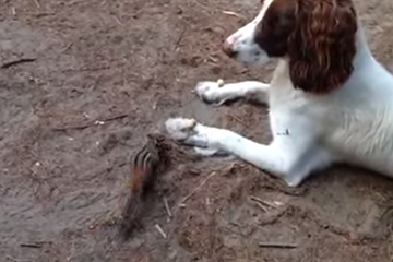 Thumbnail Chipmunk Eats Peanuts off of a Dogs Paw...WHAT?